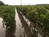 Maltempo, raccolta d'uva a rischio «Perdita di produzione fino al 50%»