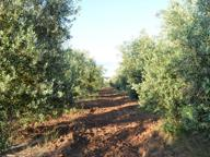 Test di tolleranza alla Xylella, una ricerca su 250 varietà di ulivi