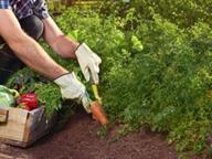 Assentisti a Scafati: tra i comunali c'è chi coltiva ortaggi in orario di lavoro