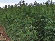 Piantagione di marijuana in campo di granturco, sequestro a Brindisi