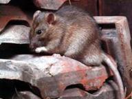 Topi invadono scuola materna a Nardò, disposta chiusura