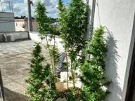 Coltiva marijuana sul terrazzo di casa Arrestato per detenzione di droga