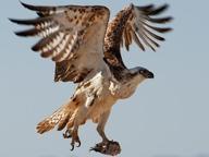 Salerno, al «Ruggi» arriva un falco per scacciare piccioni e passeri