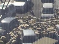 Avellino, Claudio Bisio e l'invasione delle pecore: «Guardate cosa vedo dal mio hotel...»