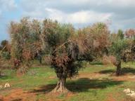Xylella, gli ispettori Ue a Bari la Puglia chiede misure più leggere