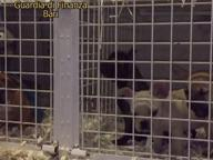 Brindisi, la finanza sequestra 32 cuccioli di cane al porto