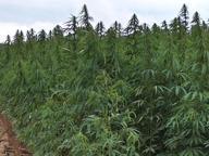 Coltivavano marijuana con i fondi europei, 5 arresti in Puglia