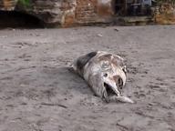 Carcassa di delfino sulla spiaggia di Miseno: nessuno la rimuove