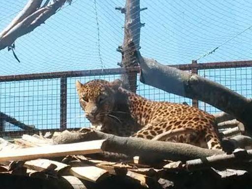 """Zoo di Napoli, un nuovo ospite Ecco il leopardo asiatico """"Kegalla"""""""