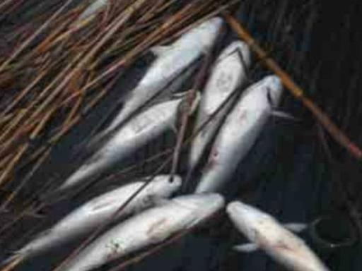 Lago d averno idrogeno solforato nell acqua muoiono i pesci - Pesci comuni in tavola ...
